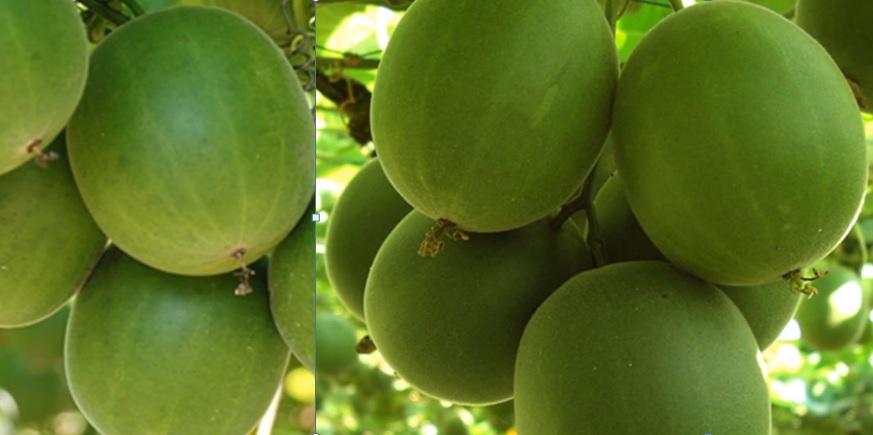 Fruto de Luo Han Guo del cual se extrae el Extracto De la Fruta De Luo Han Guo